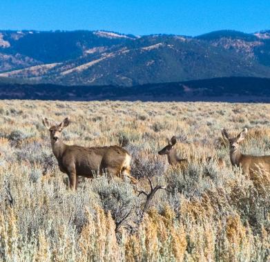 Deer along West Border