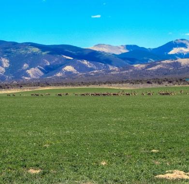 elk at Trichera ranch - picture taken on county roadd